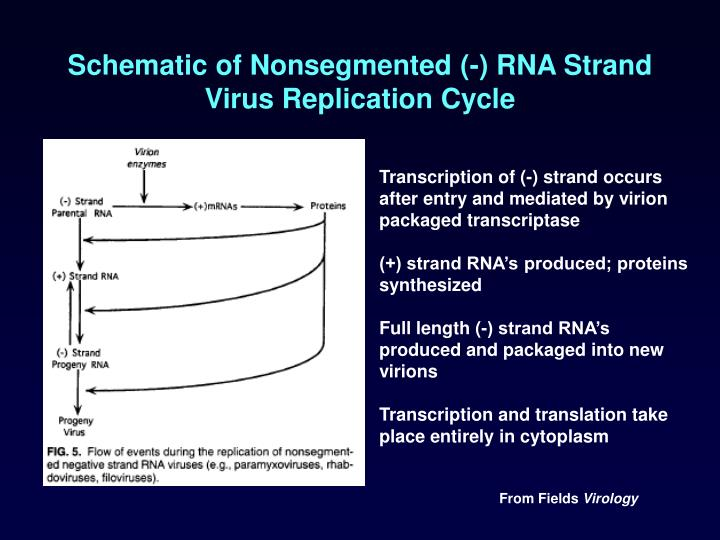 Schematic of Nonsegmented (-) RNA Strand Virus Replication Cycle