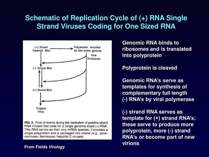 Schematic of Replication Cycle of (+) RNA Single Strand Viruses Coding for One Sized RNA