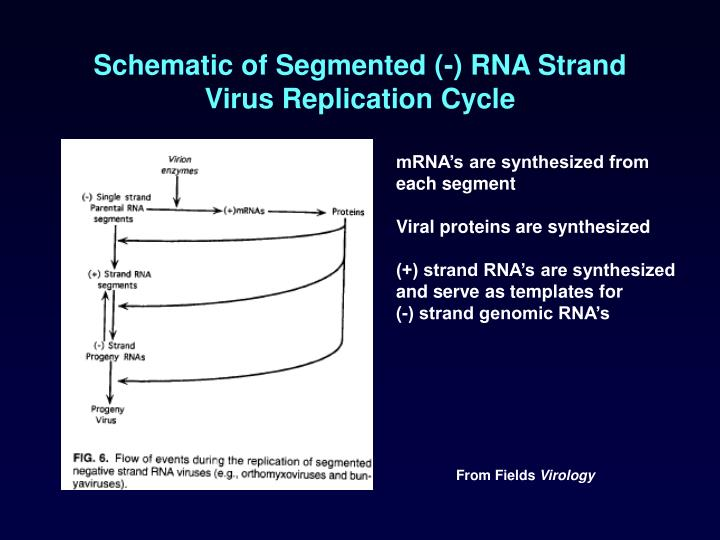 Schematic of Segmented (-) RNA Strand Virus Replication Cycle