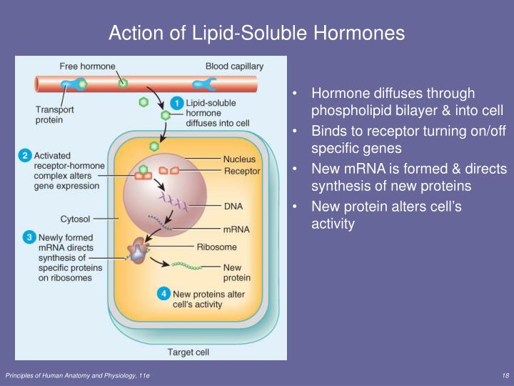 Hormone diffuses through phospholipid bilayer & into cell