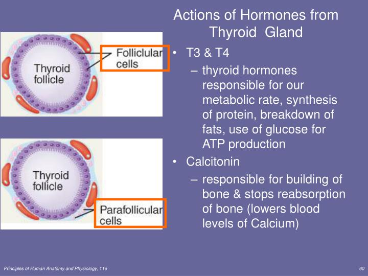 Actions of Hormones from Thyroid  Gland