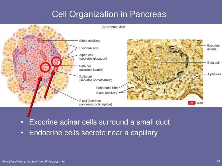 Cell Organization in Pancreas