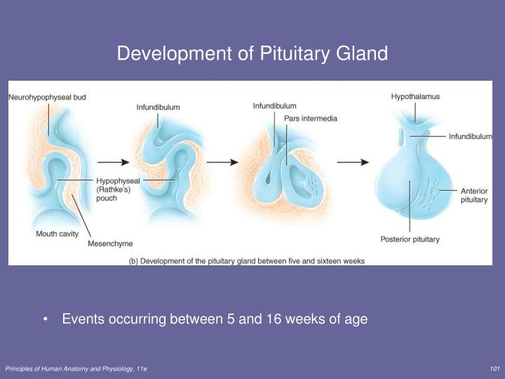 Development of Pituitary Gland