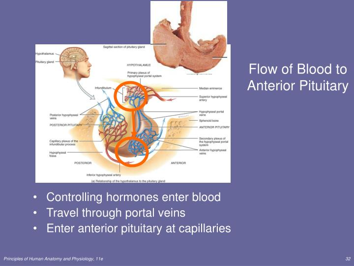 Flow of Blood to Anterior Pituitary