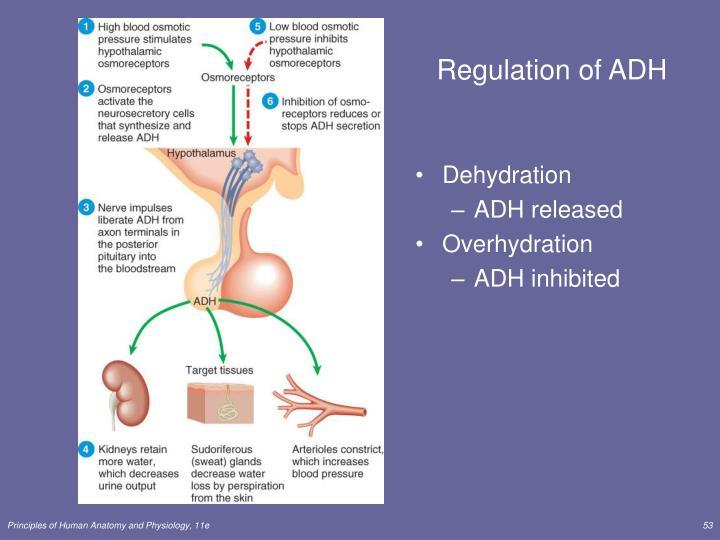 Regulation of ADH