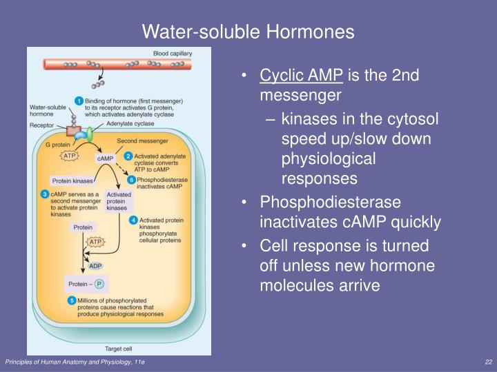 Water-soluble Hormones