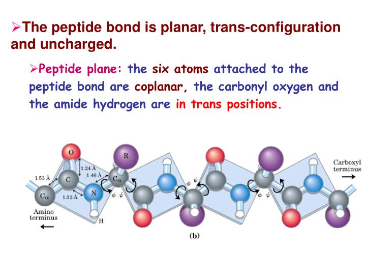 The peptide bond is planar, trans-configuration and uncharged.