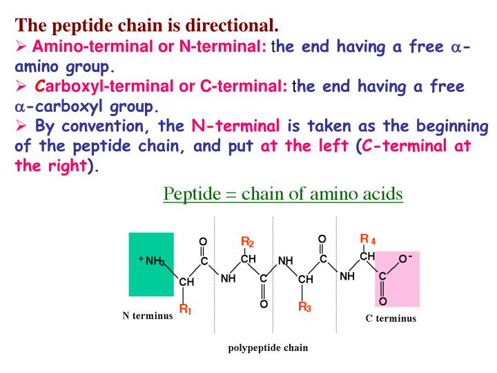 The peptide chain is directional.