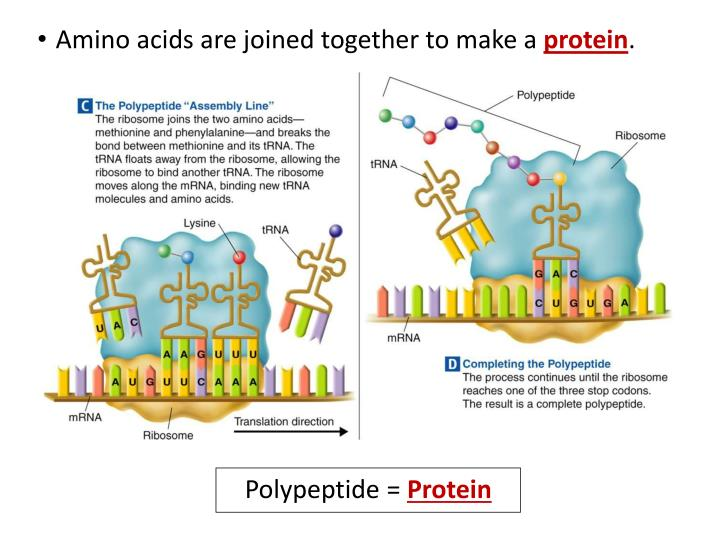 Amino acids are joined together to make a