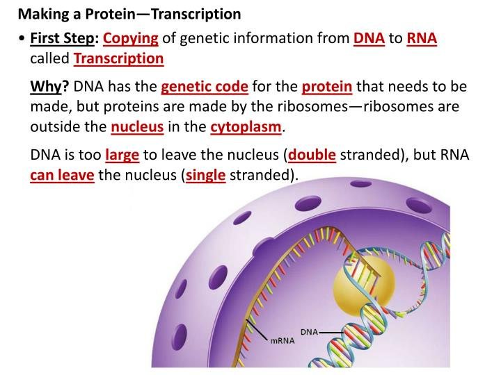 Making a Protein—Transcription