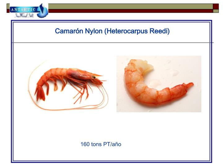 Camarón Nylon (Heterocarpus Reedi)