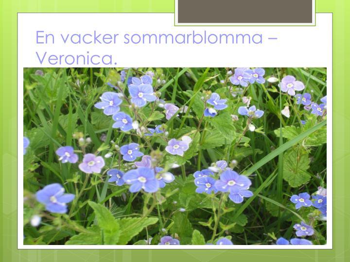 En vacker sommarblomma – Veronica.