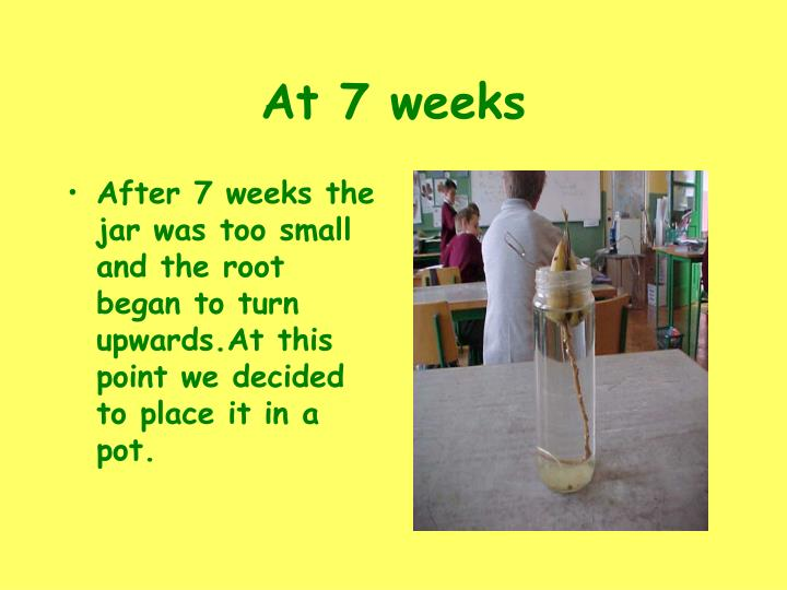 At 7 weeks