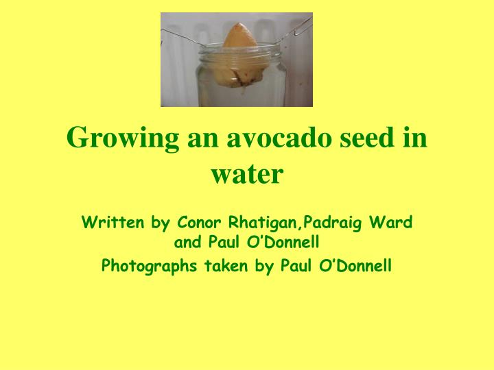 growing an avocado seed in water