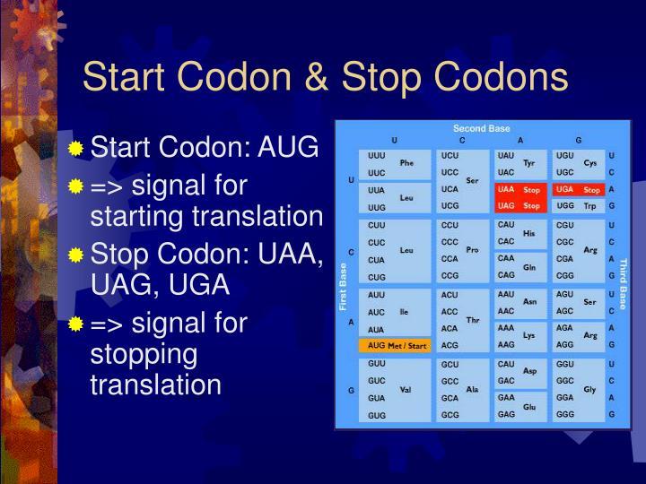 Start Codon & Stop Codons