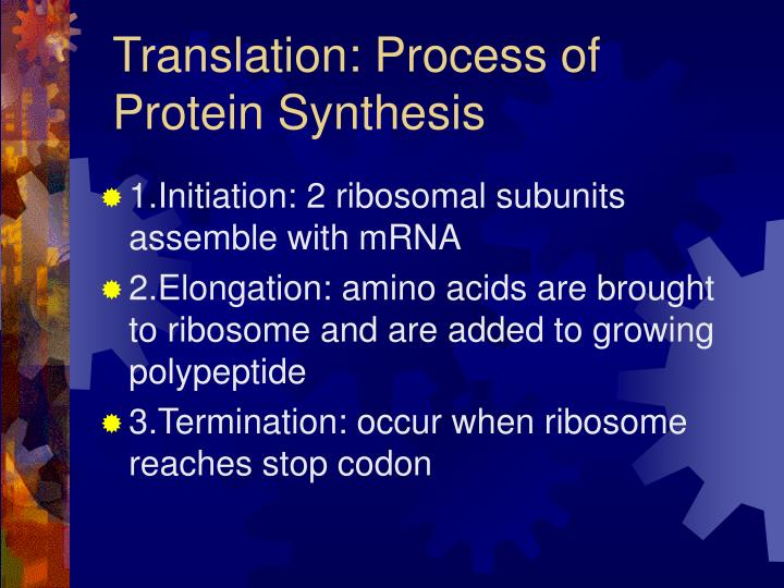 Translation process of protein synthesis