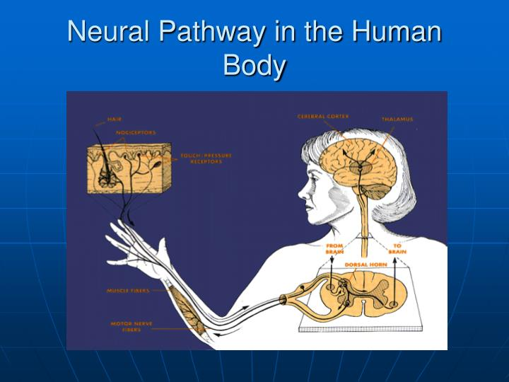 Neural Pathway in the Human Body