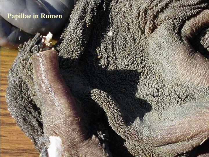 Papillae in Rumen