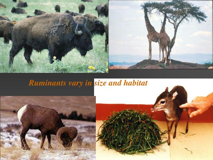 Ruminants vary in size and habitat