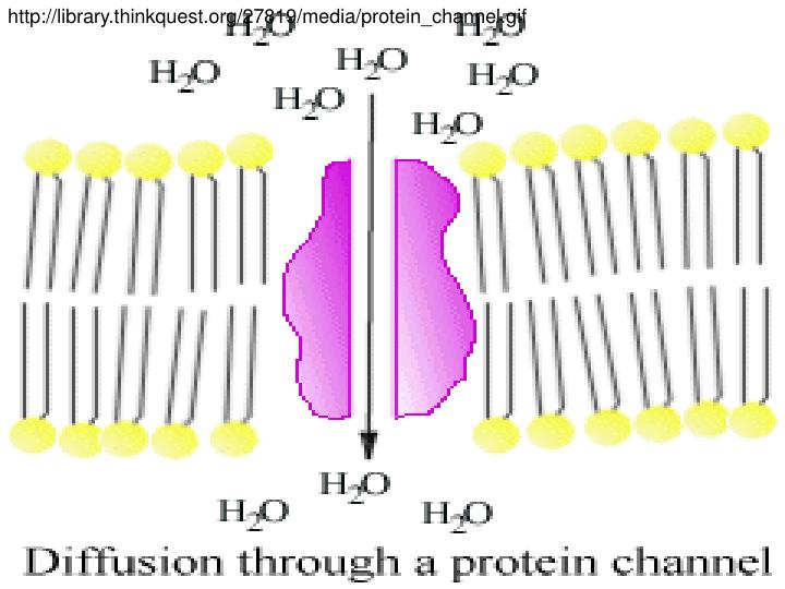 http://library.thinkquest.org/27819/media/protein_channel.gif