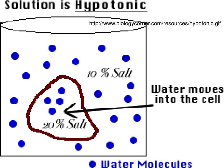http://www.biologycorner.com/resources/hypotonic.gif
