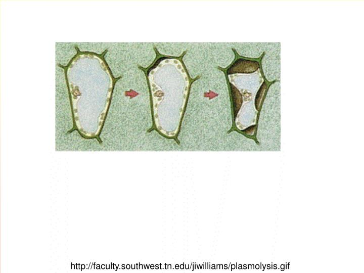 http://faculty.southwest.tn.edu/jiwilliams/plasmolysis.gif