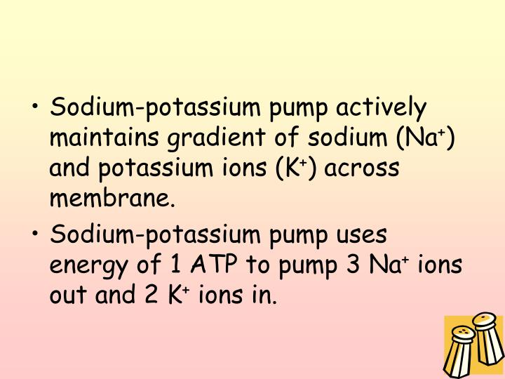 Sodium-potassium pump actively maintains gradient of sodium (Na