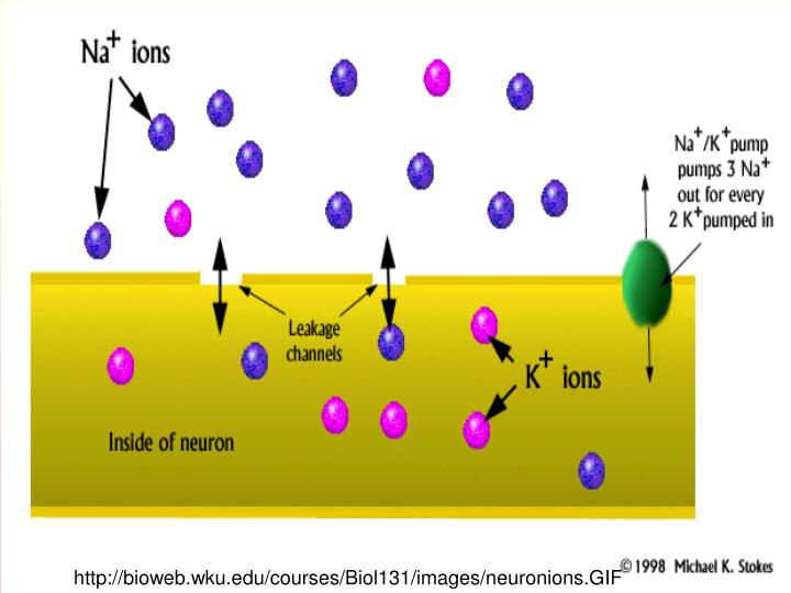 http://bioweb.wku.edu/courses/Biol131/images/neuronions.GIF