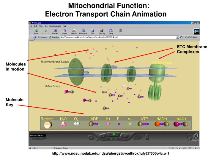 Mitochondrial Function: