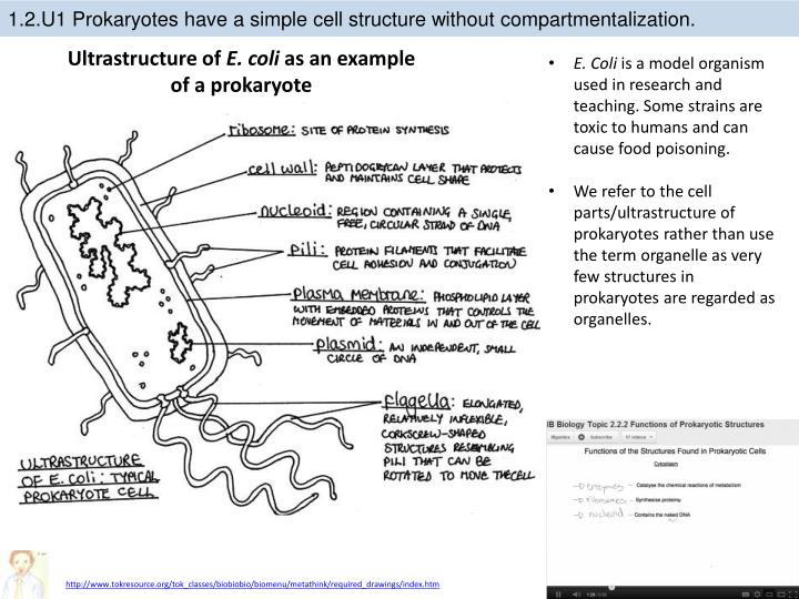 PPT - 1 .2 Ultrastructure of cells PowerPoint Presentation ...  PPT - 1 .2 Ultr...