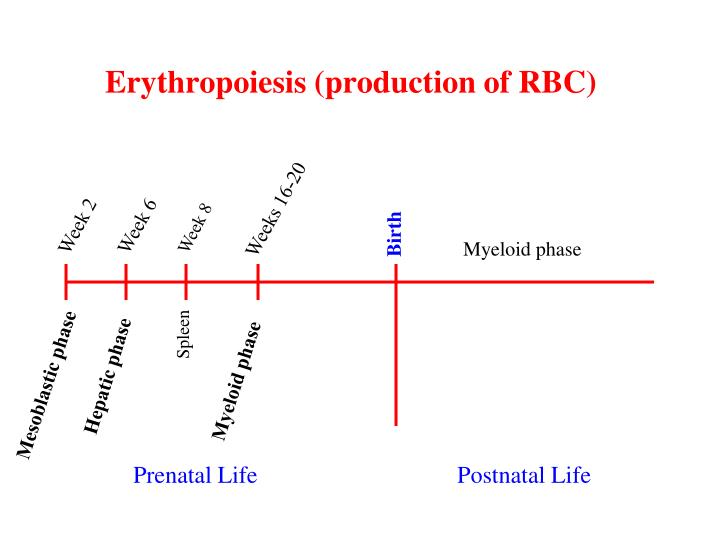 Erythropoiesis (production of RBC)