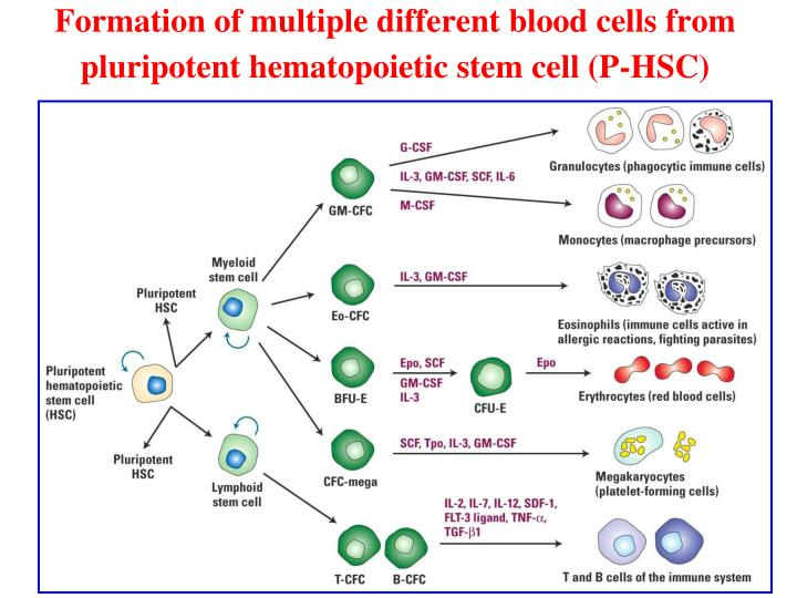 Formation of multiple different blood cells from pluripotent hematopoietic stem cell (P-HSC)