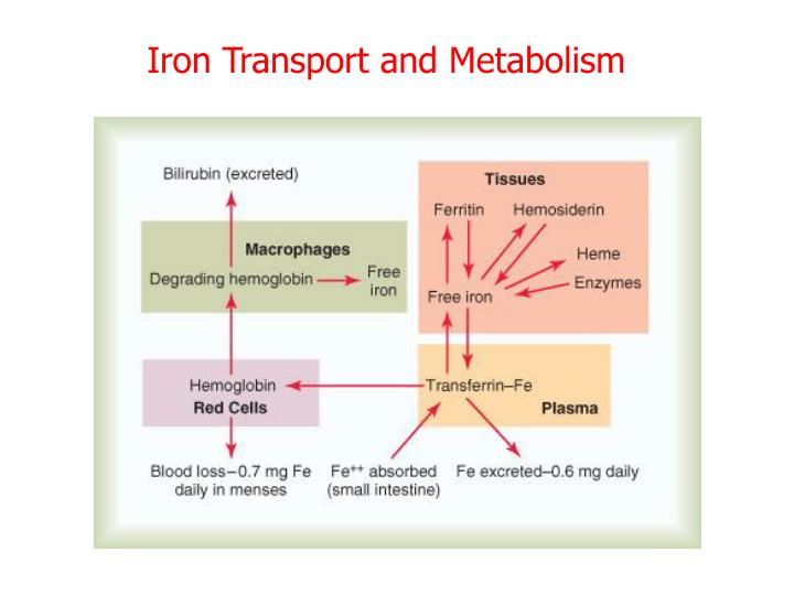 Iron Transport and Metabolism
