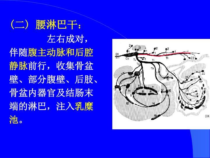 (二) 腰淋巴干