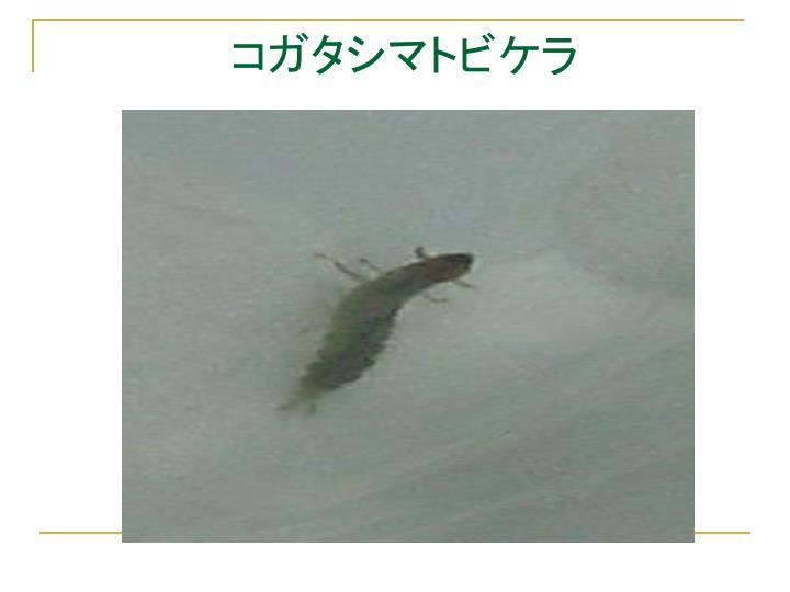 コガタシマトビケラ