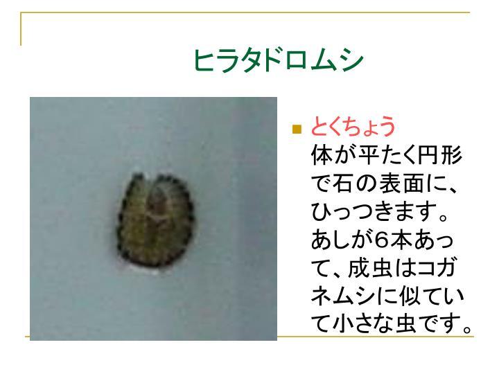 ヒラタドロムシ