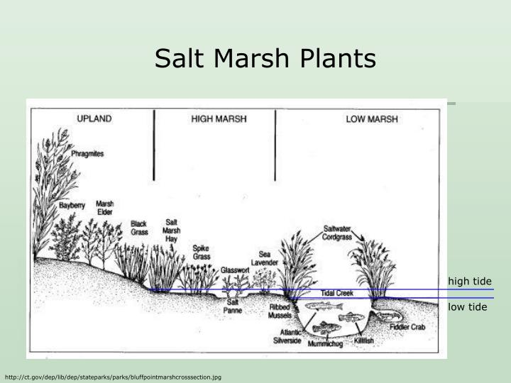 Salt Marsh Plants