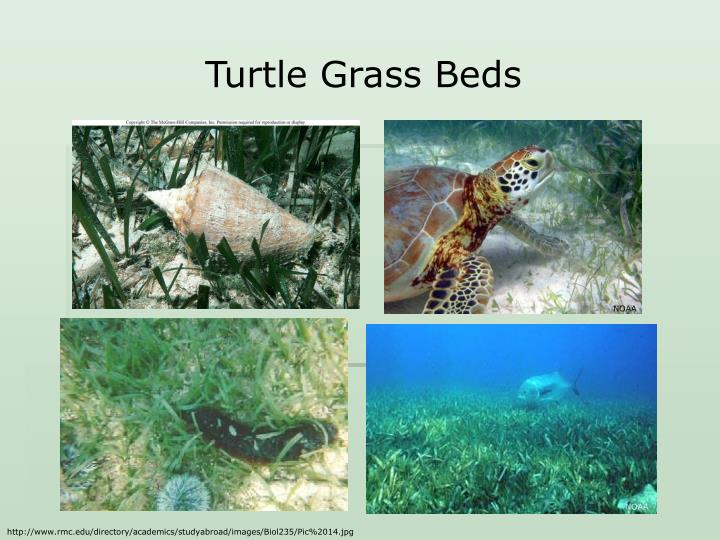 Turtle Grass Beds