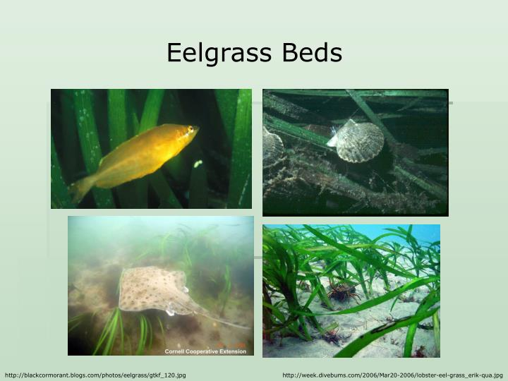 Eelgrass Beds