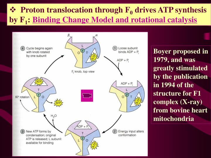 Proton translocation through F