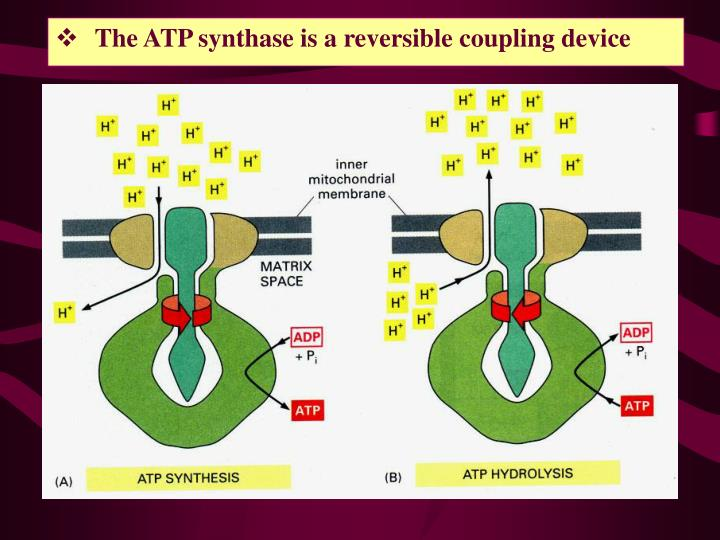 The ATP synthase is a reversible coupling device