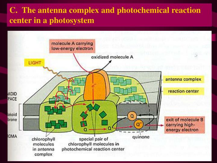 C.  The antenna complex and photochemical reaction center in a photosystem