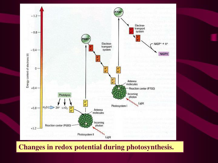 Changes in redox potential during photosynthesis.