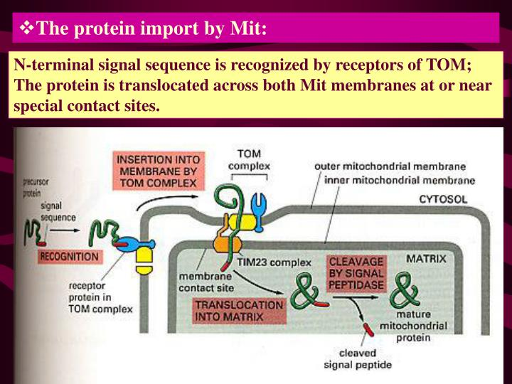 The protein import by Mit: