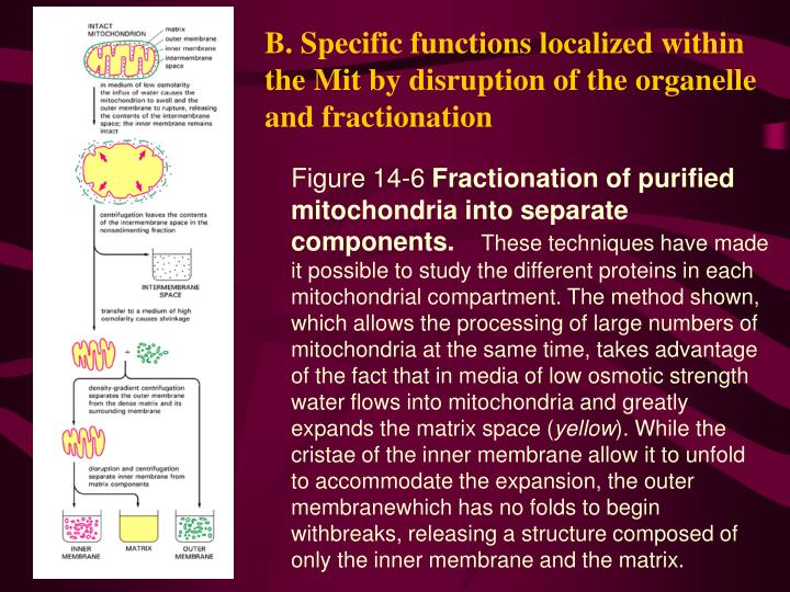 B. Specific functions localized within the Mit by disruption of the organelle and fractionation