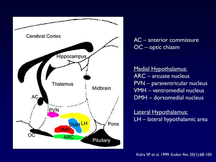 AC – anterior commissure