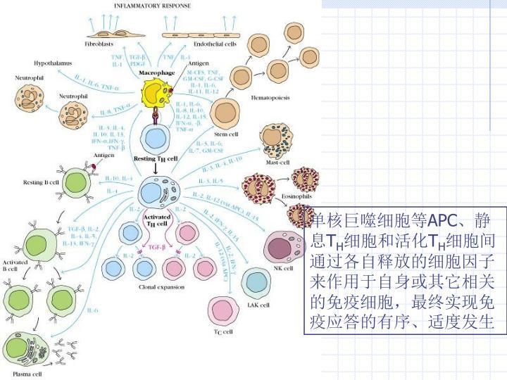 单核巨噬细胞等