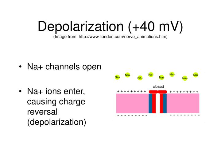 Depolarization (+40 mV)