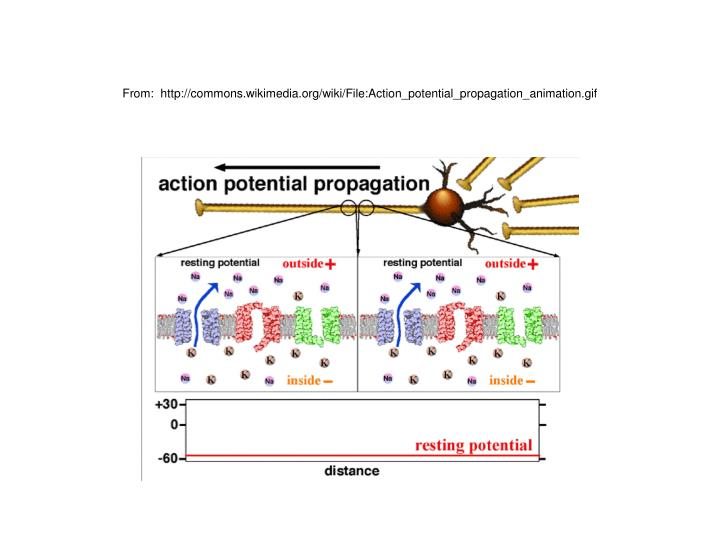 From:  http://commons.wikimedia.org/wiki/File:Action_potential_propagation_animation.gif