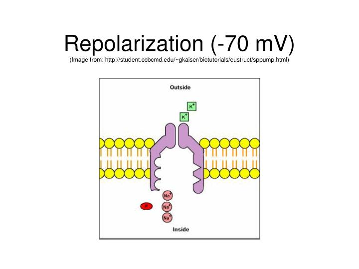 Repolarization (-70 mV)